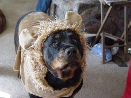 Sassy sugar bear costume 09