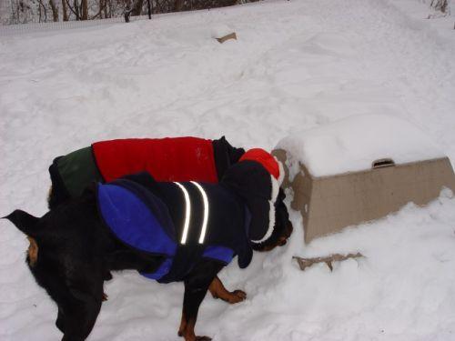 Bosch & Sassy lick snow 12-27-09