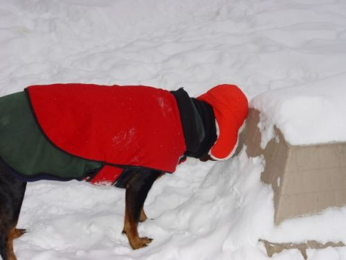 Sassy licking dog house with snow 12-27-09
